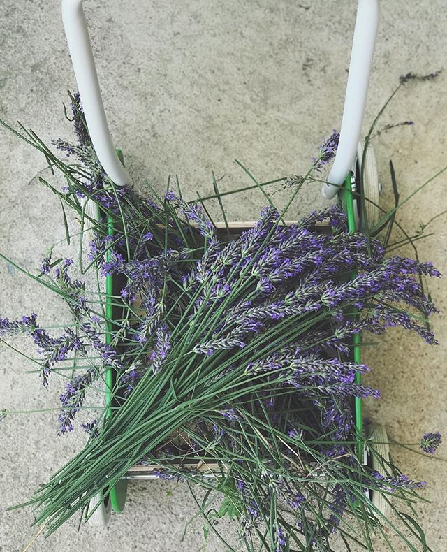 Dylan loved cutting, picking and smelling this lavender. But he loved pushing it around in his trolley most of all.