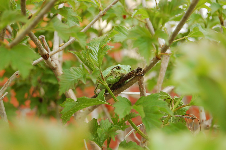 treefrog:sized.JPG