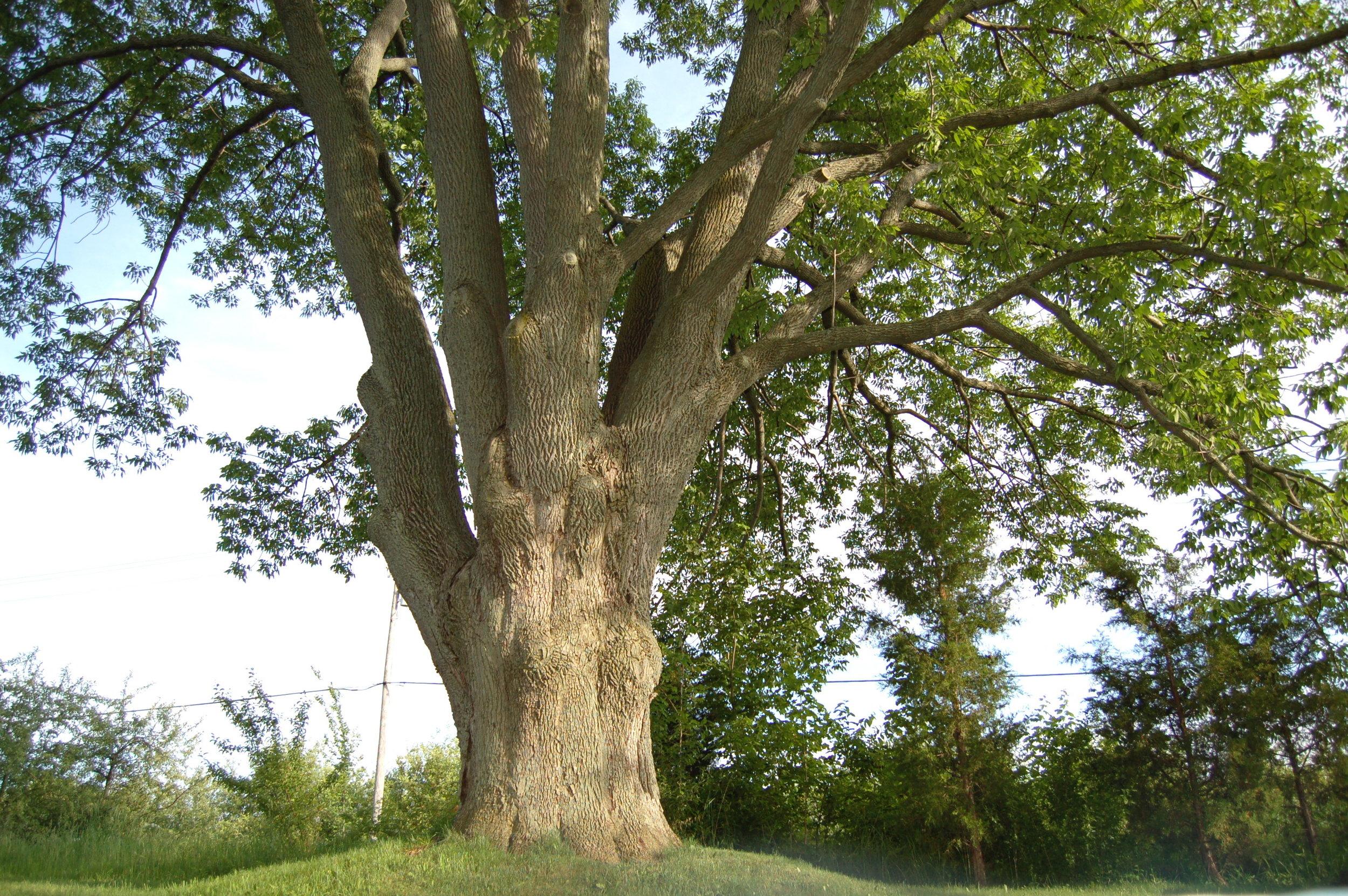 ash tree.jpg