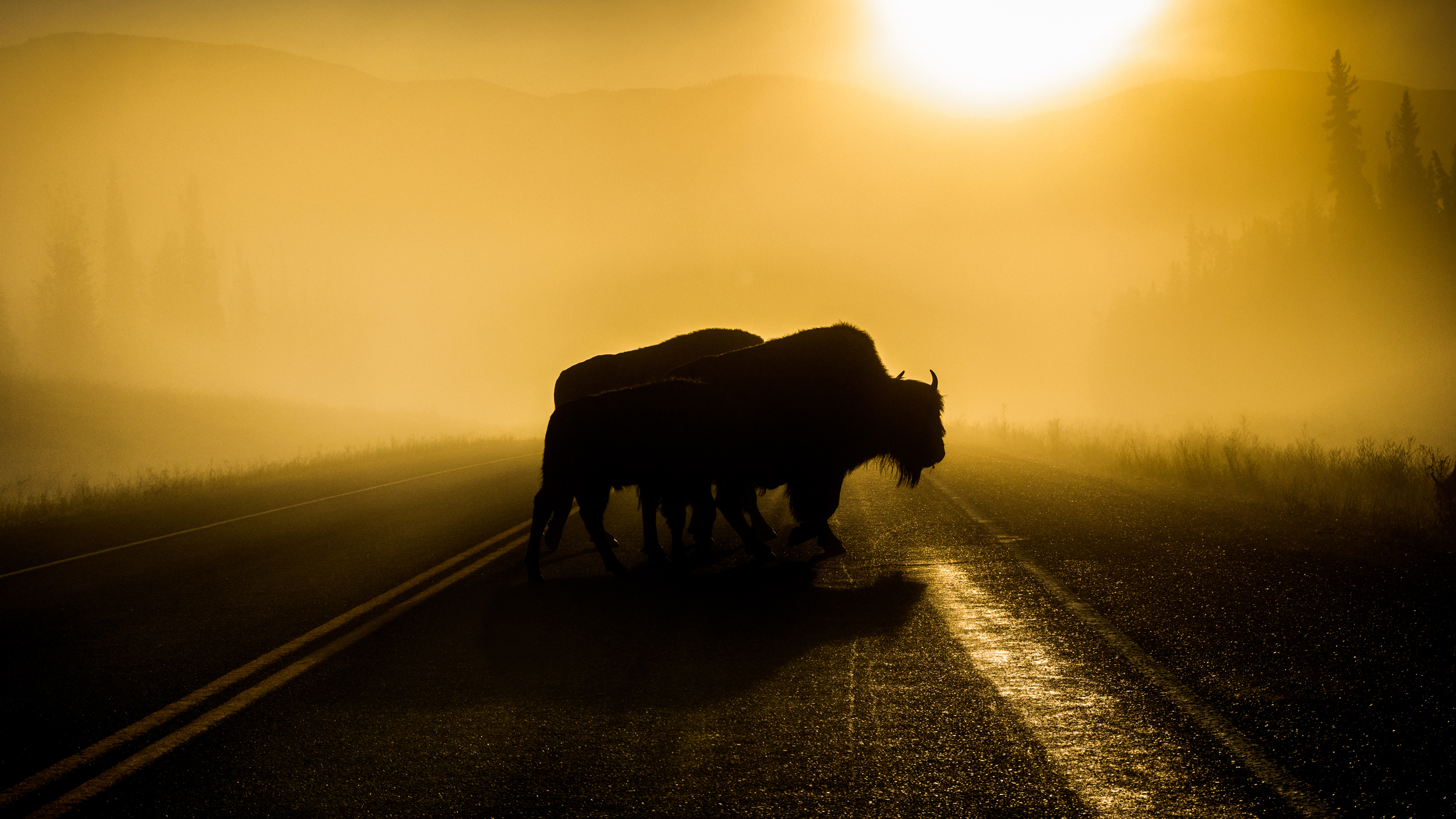 Morning-Commuters-Bison-Family.web.jpg