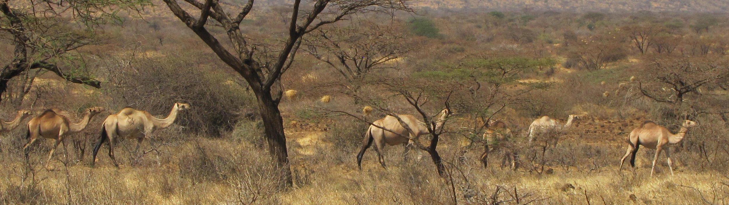 Camels at Kachiuru