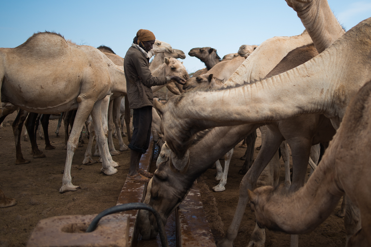 Herder with his camels