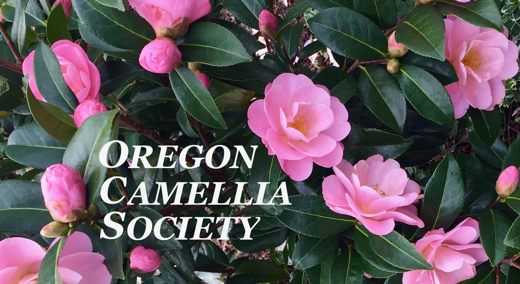 oregoncamelliasocietylogo.jpg