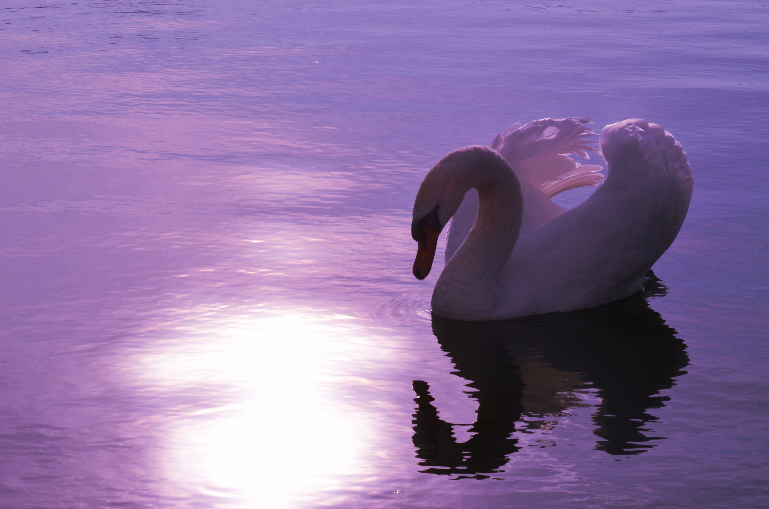 swan-1229503.jpg
