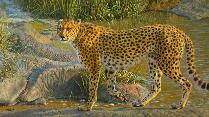 Cheetah on the Talek river.