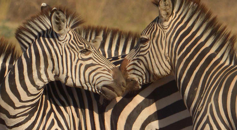 Crawshay's Zebra, South Luangwa.