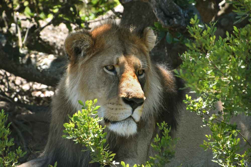 A very handsome male found just sitting there under a bush. I didn't expect this. A classic Tony Forrest lion!