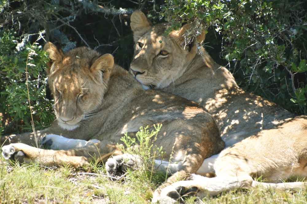 Shortly after entering Kwantu I had several excellent sightings of lions. Lovely light.