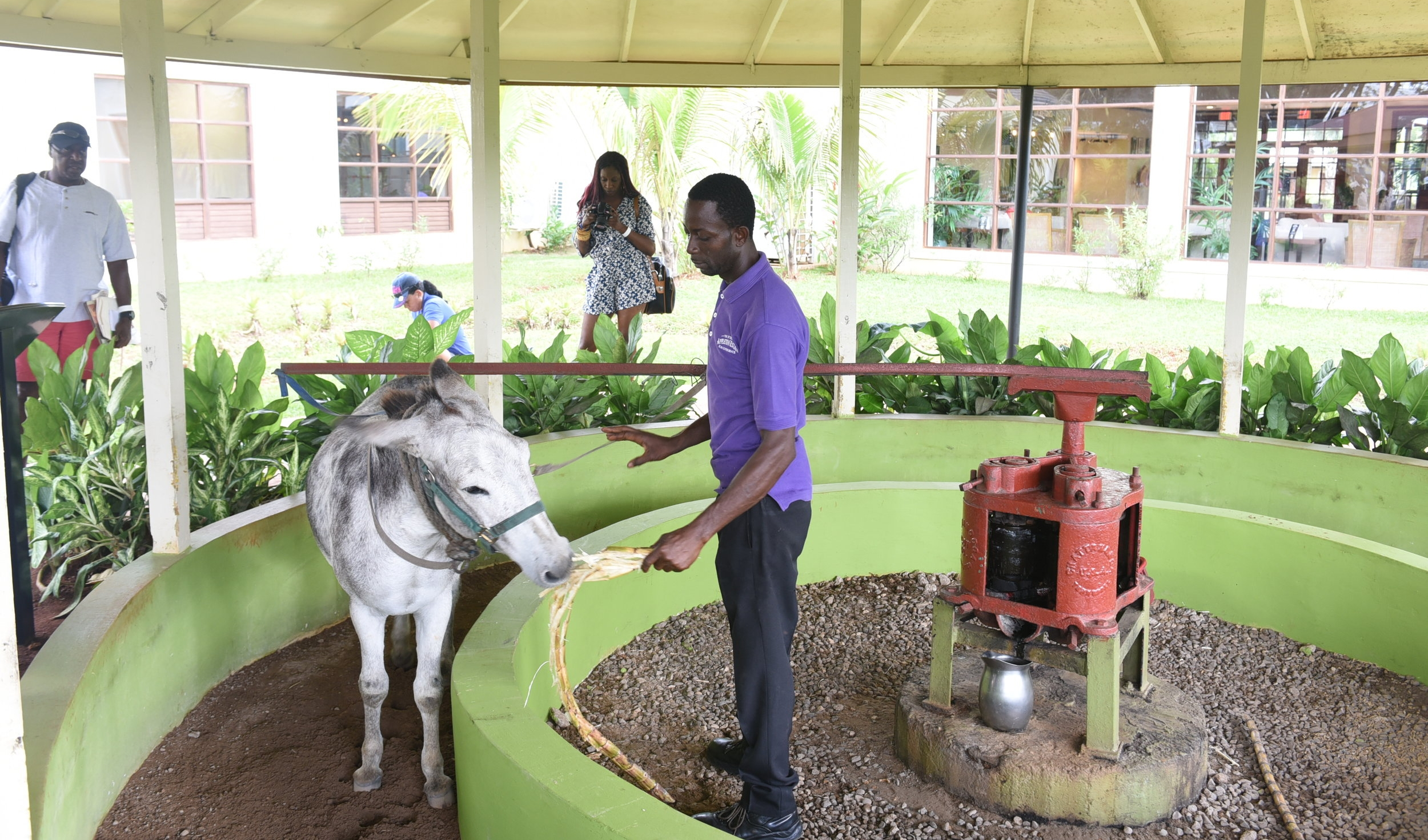 Paz, the donkey, grinds sugar cane for visitors