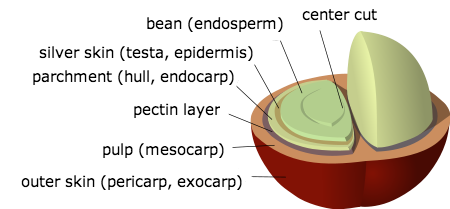 anatomy-of-beans-the-a-coffee-cherry-caf-santo-domingo-2.png