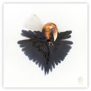 DSvT-Unknown+Pose+by-Wreathed+Hornbill.jpg