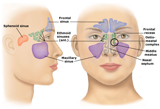Sinuses_and_OMC_external