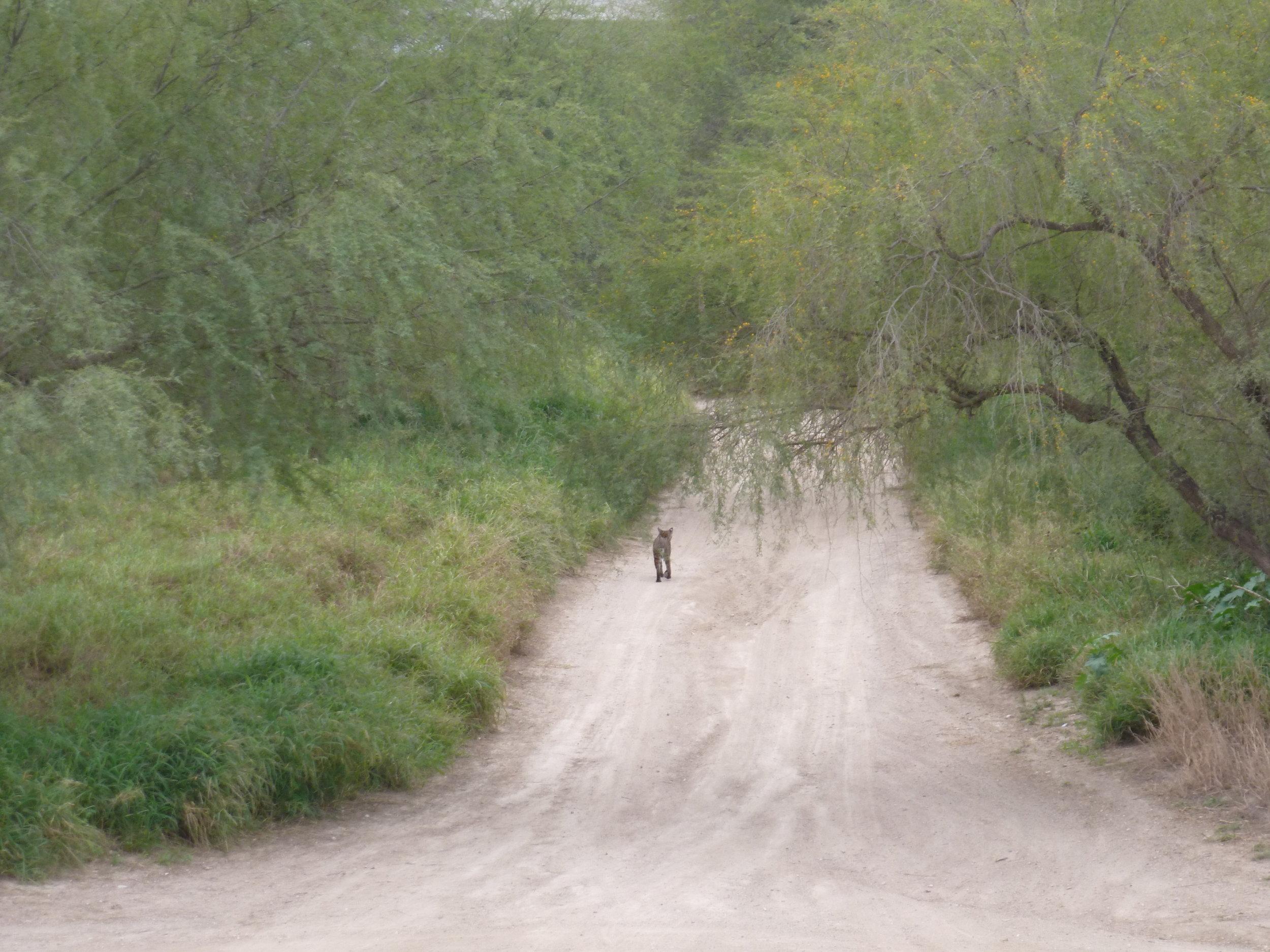 Bobcat near Hidalgo border fence Photo Radhika Subramaniam.jpg
