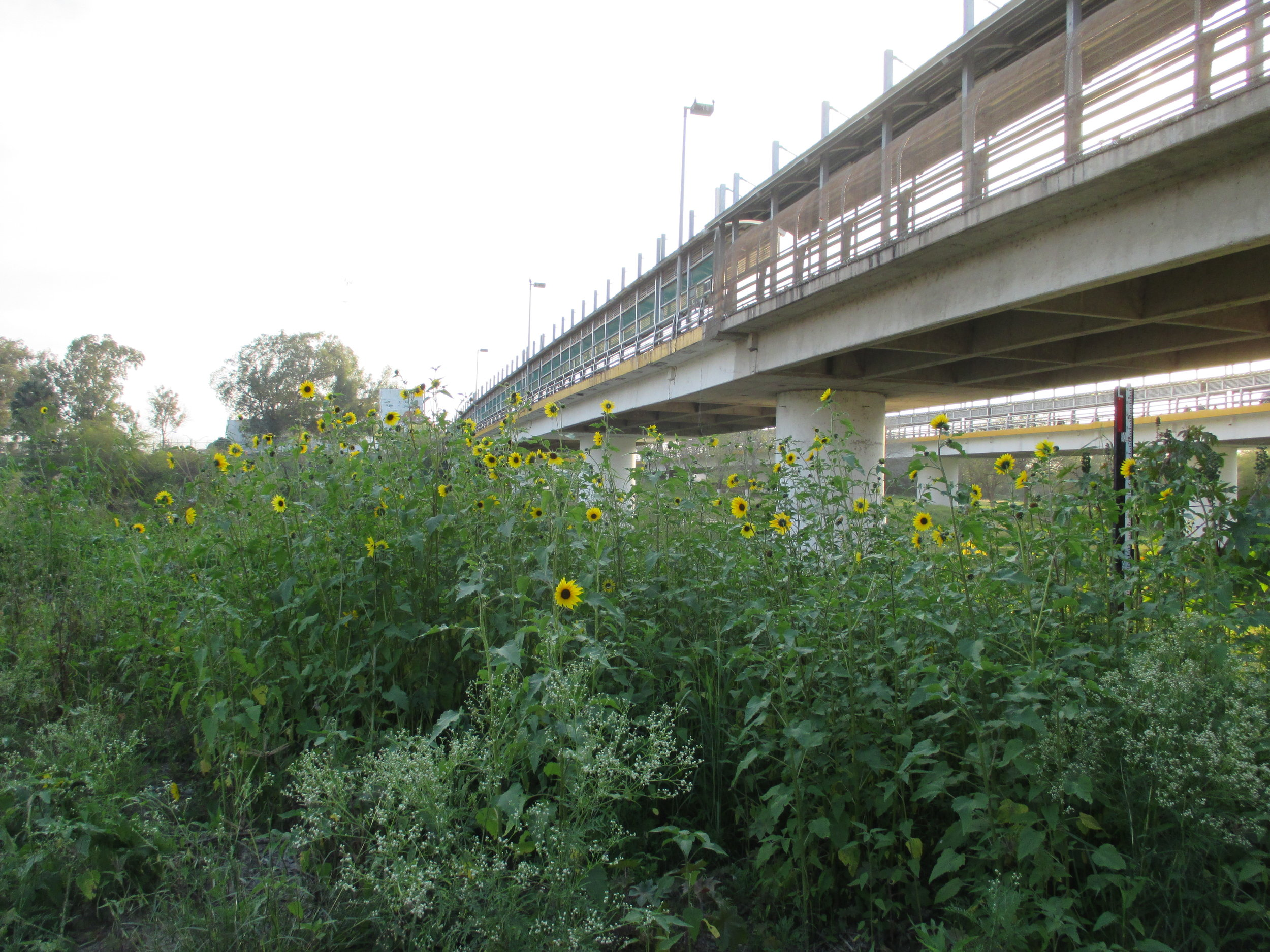 6_Brownsville sunflowers border ped bridge.jpg