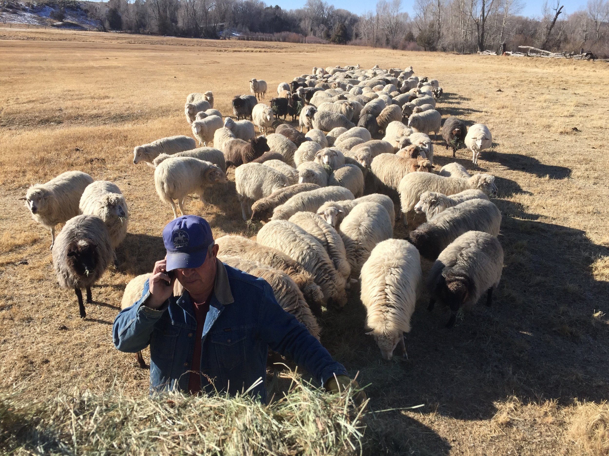 Antonio, multitasking! Phone calls come even while feeding the Churro ewes....