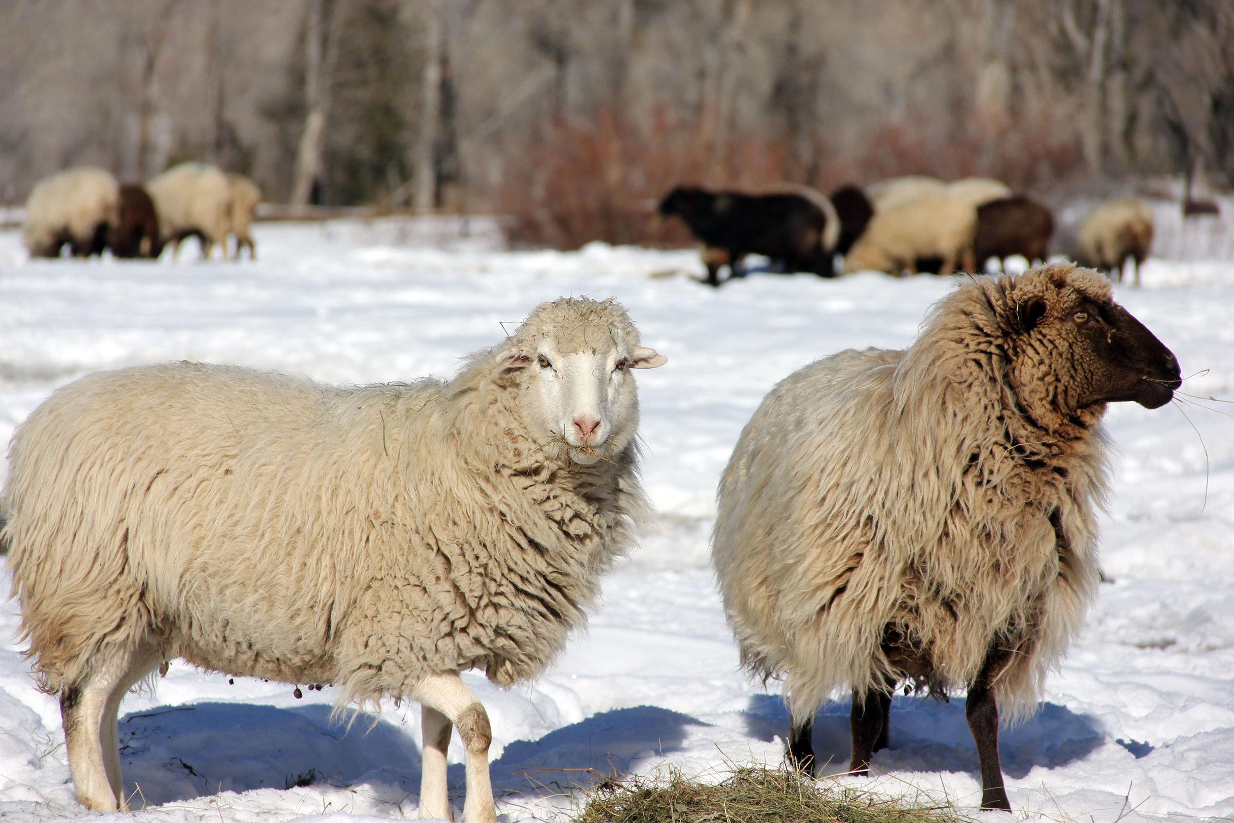 Churro sheep at feeding time