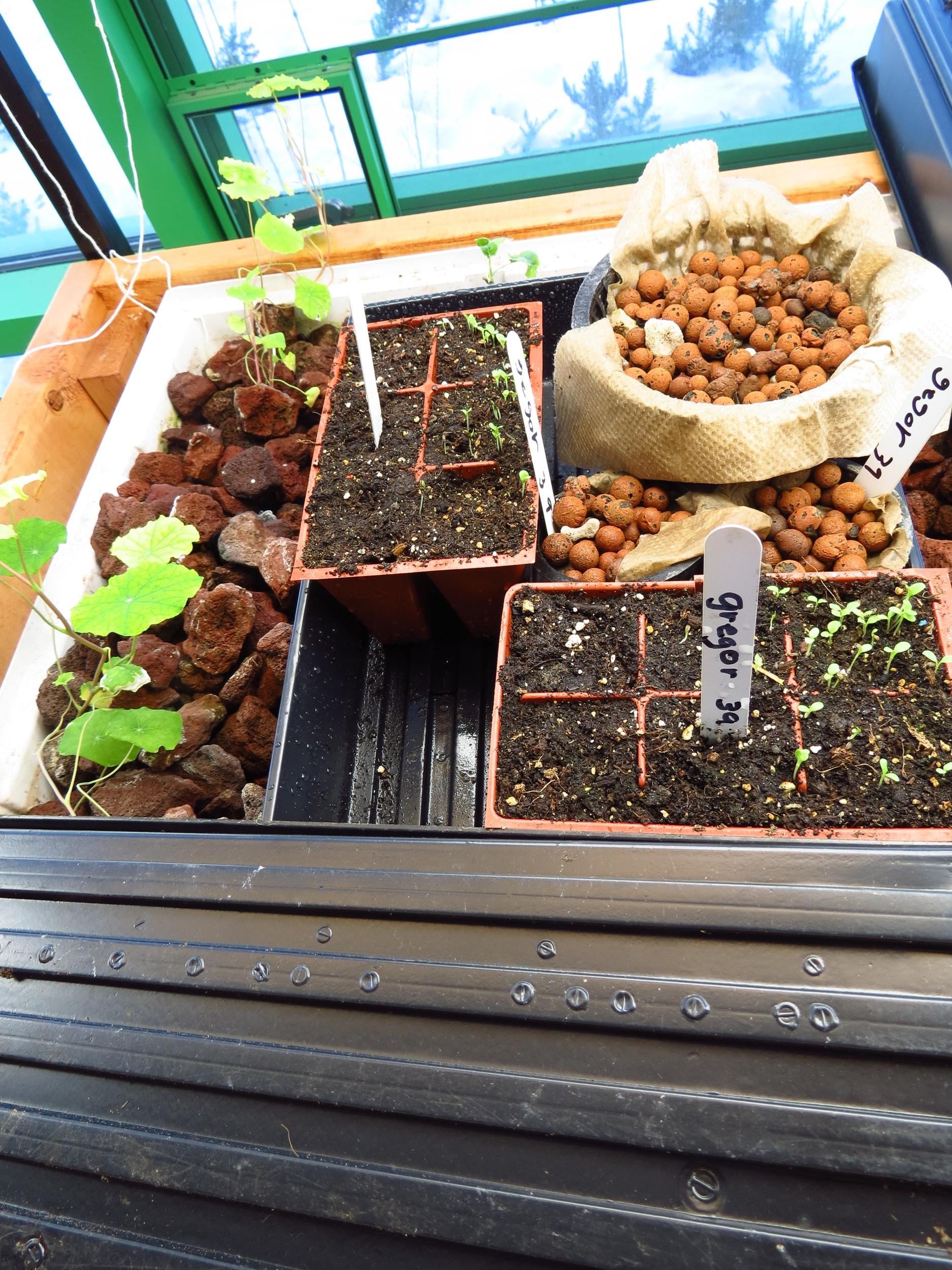 3rd grade experiment - Seeds in soil, seeds in hydroton, and seeds in the dark.