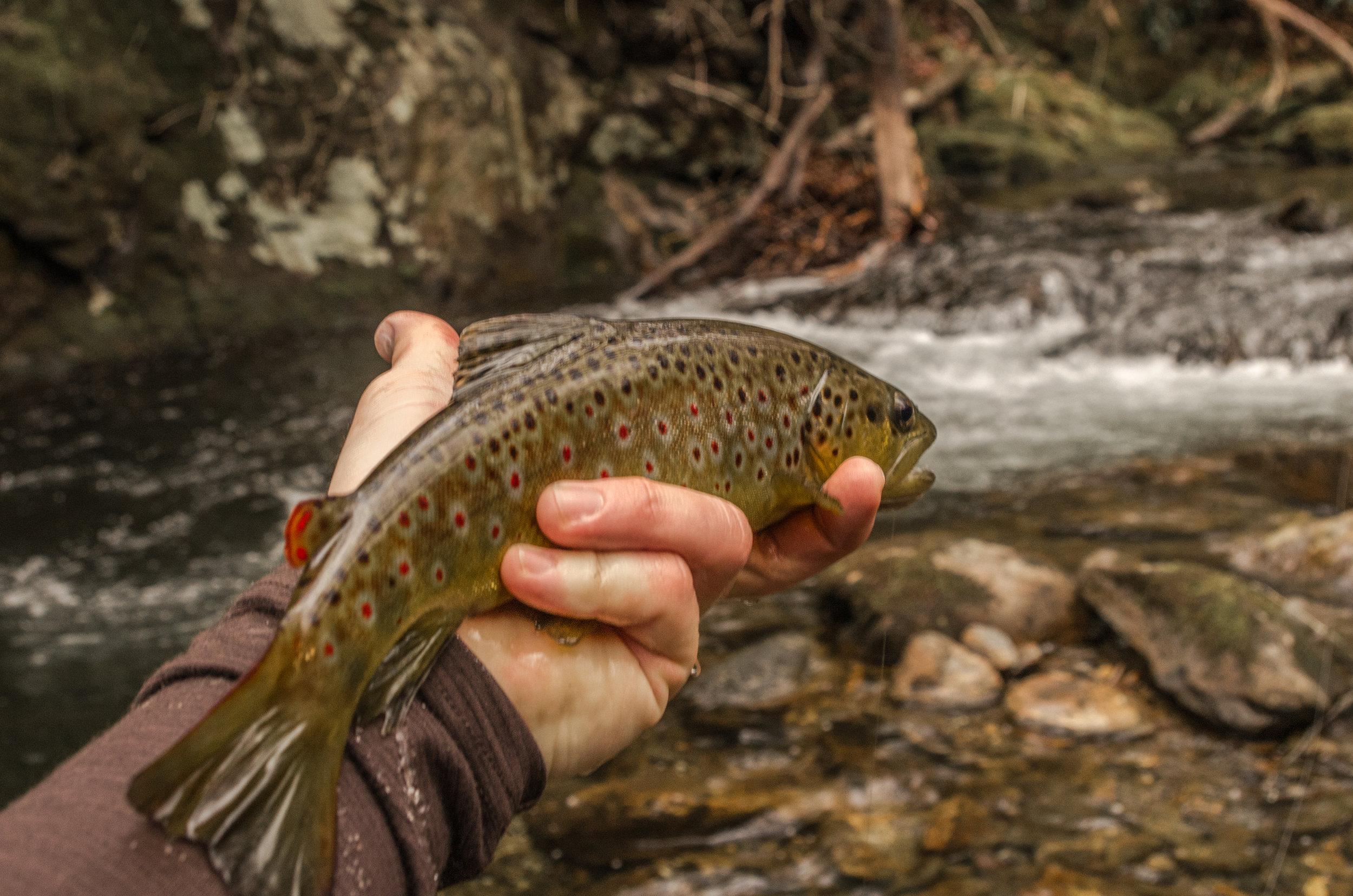 Small Stream Brown Trout North Carolina
