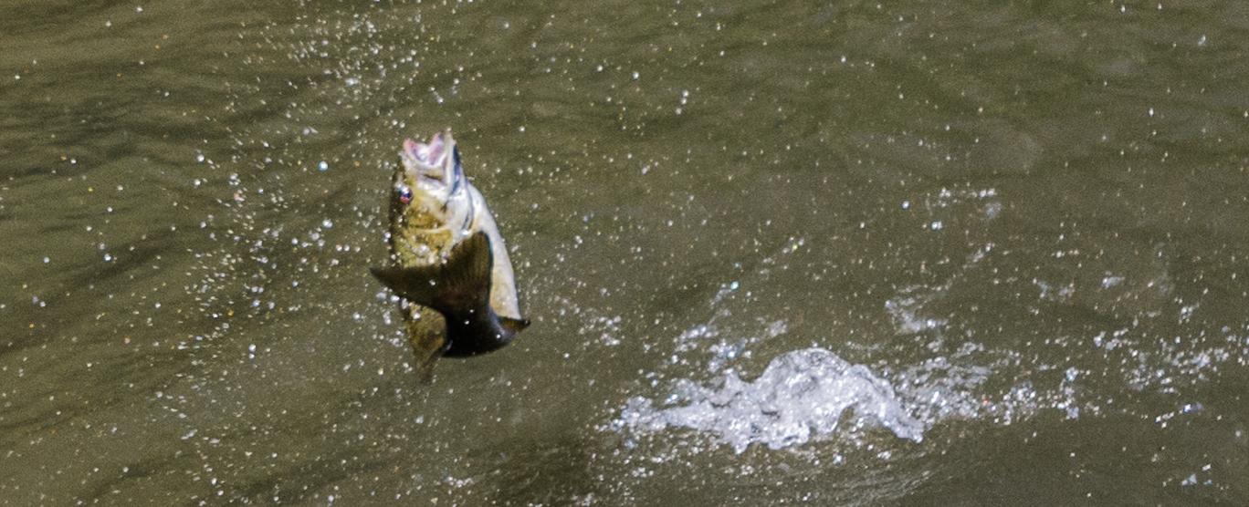 Jumping Smallmouth Bass French Broad River, Asheville, North Carolina