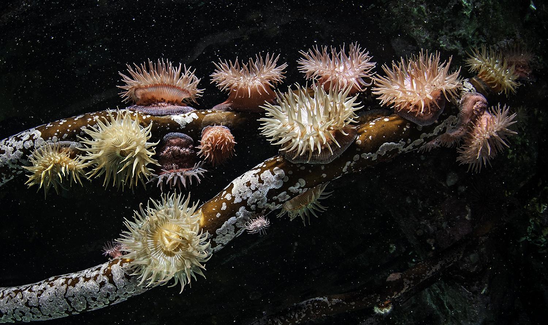 anemone _DSC8960 Brooding Anemones.jpg