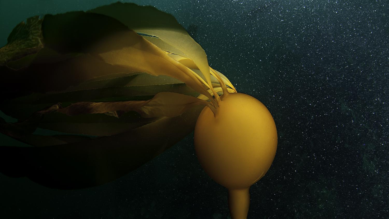 kelp _DSC4774 bull kelp.jpg