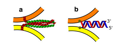 Figure 1. SNARE and DNA-mediated membrane fusion. a, Not-to-scale sketch of SNARE receptors binding and promoting membrane fusion. b, The same effect can be replicated using two complementary membrane anchored DNA oligonucleotides.