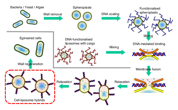Figure 2. DNA-mediated membrane fusion applied to combine spheroplasts with artificial liposomes. Spheroplasts are prepared through wall removal from bacterial, yeast, or algal cells and functionalised with hydrophobised single-stranded DNA linkers. Likewise, cargo-loaded liposomes are decorated with the comple- mentary oligonuceotides. Upon mixing, DNA binding promoted membrane fusion and thereby mixing of the cell and liposome contents. Eventually, cells may be able to produce a new wall and resume cell cycle.