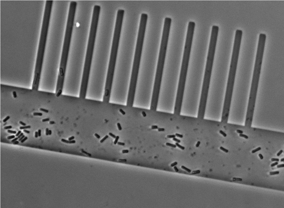 Figure 5. Micrograph of cells in the prototype mother machine.