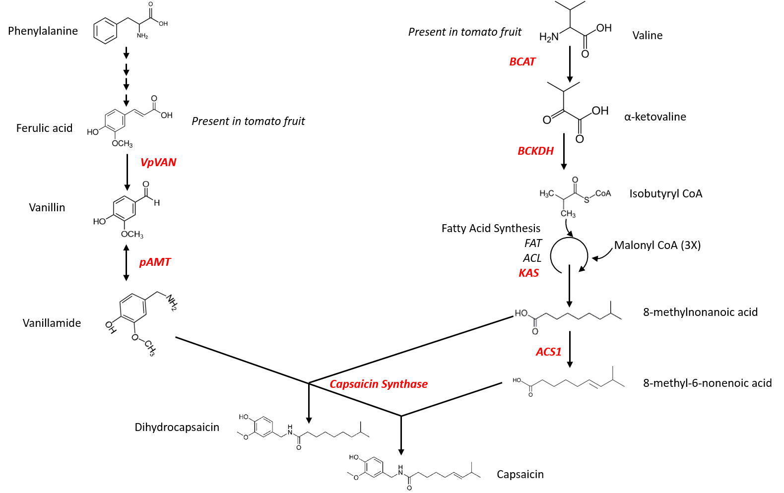 """16.00         Figure 1. Engineering the capsaicin pathway in tomato. Genes in red were cloned to complete the pathway in tomato. All genes originate from chili pepper with the exception of VpVAN which was isolated from the vanilla orchid (Vanilla planifolia), as the chili pepper enzyme for this step is not yet known.         Normal   0           false   false   false     EN-GB   X-NONE   X-NONE                                                                                                                                                                                                                                                                                                                                                                                                                                                                                                                                                                                                                                                                                                                                                                                                                                                                       /* Style Definitions */  table.MsoNormalTable {mso-style-name:""""Table Normal""""; mso-tstyle-rowband-size:0; mso-tstyle-colband-size:0; mso-style-noshow:yes; mso-style-priority:99; mso-style-parent:""""""""; mso-padding-alt:0cm 5.4pt 0cm 5.4pt; mso-para-margin:0cm; mso-para-margin-bottom:.0001pt; line-height:115%; mso-pagination:widow-orphan; font-size:11.0pt; font-family:""""Arial"""",sans-serif; color:black;}"""