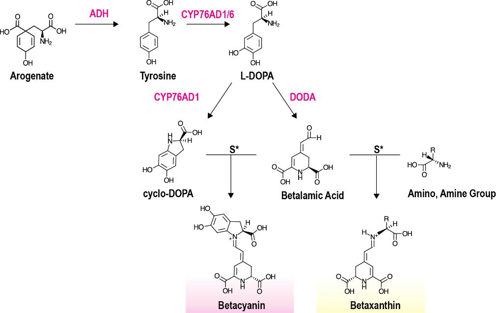 Figure 1 . Betalain metabolic pathway
