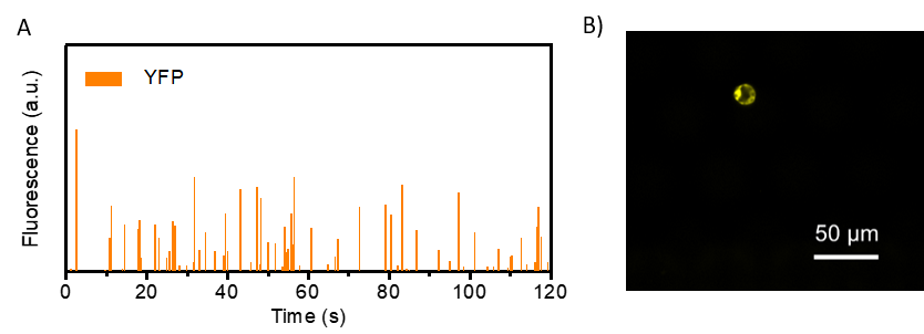 Figure 3:    A) Quantification of YFP in encapsulated marchantia protoplasts. Each peak represents the activity of an individual protoplast. B) Isolated protoplast expressing YFP.