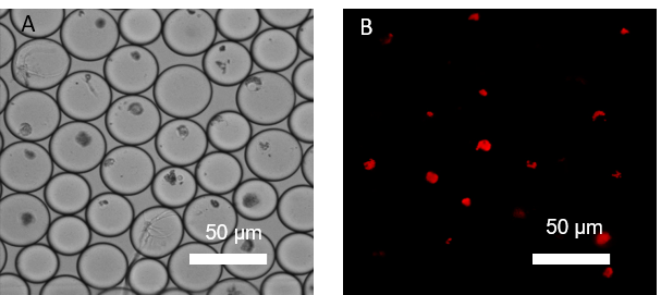 Figure 4:    Sorted encapsulated protoplasts from Marchantia polymorpha visualized under A) light microscopy and B) fluorescent microscopy.