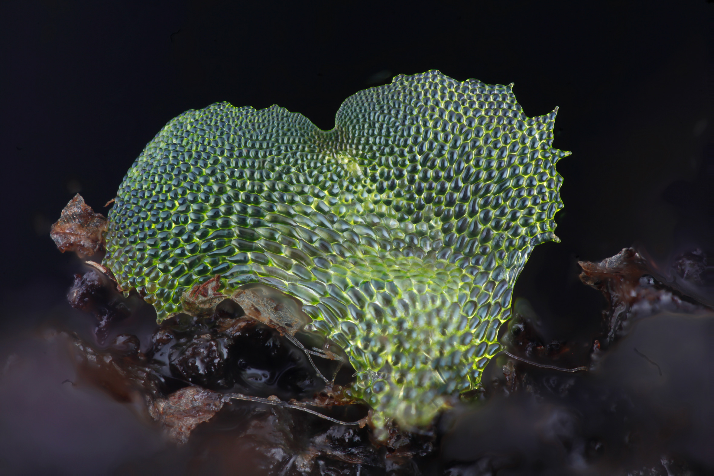 Fern gametophyte photographed by Dr Jennifer Deegan using her focus stacking photography platform. More information, images and project documentation can be found through  http://chlorophyllosophy.uk/