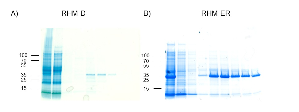 Figure 2.  Expression and purification of domains RHM-D (A) and RHM-ED (B). Good degree of expression and purification was obtained for both proteins.