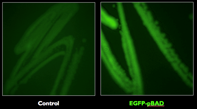 Figure 3.  E. coli strains expressing the EGFP-pBAD was confirmed to fluoresce with the expected excitation and emission maxima at 488 nm and 507 nm, respectively.
