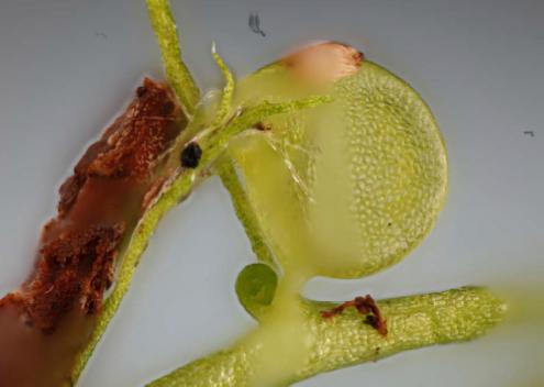 Utricularia gibba traps