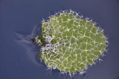 Arabidopsis trichomes (wild-type)