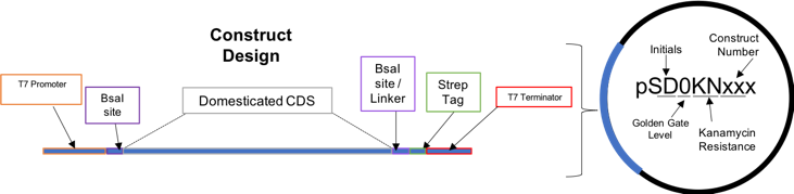 Figure 1.  Diagram showing the design strategy used for all constructs.