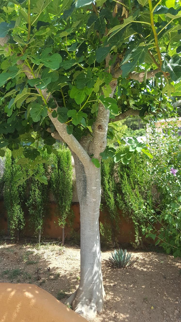 Underbart fikonträd