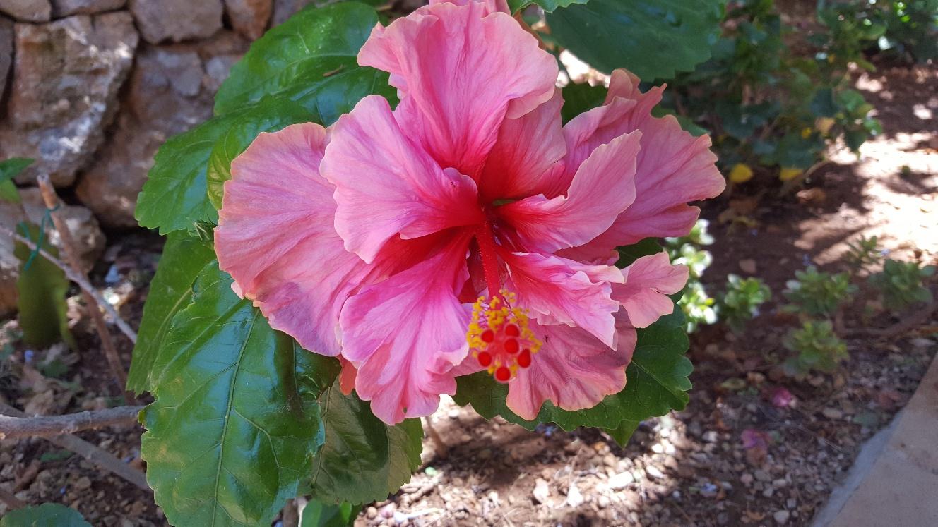Fantastisk hibiskusblomma