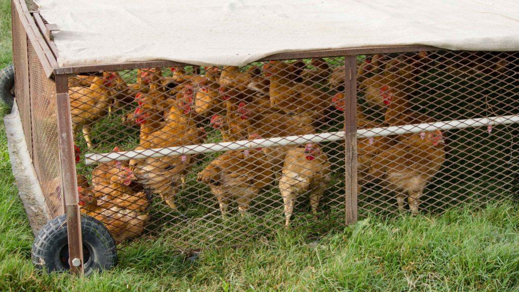 chickenpair1.jpg