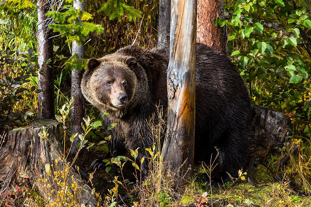 See a grizzly bear in the wild -