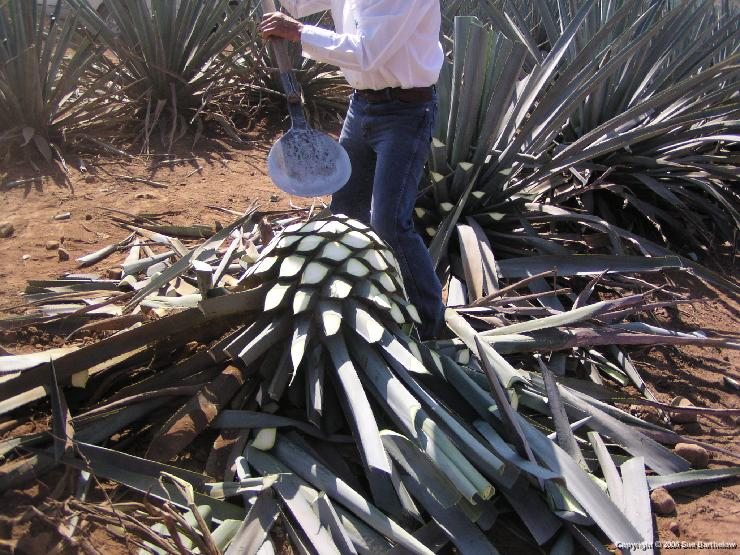 Harvesting Blue Agave for Tequila Production