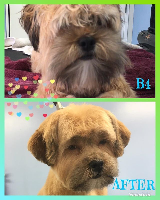 Chewy needed a nap after grooming....look at his sleepy face. Lol. Puppies. 🤣😍#doggrooming #doggroomer #doglife #cutedog