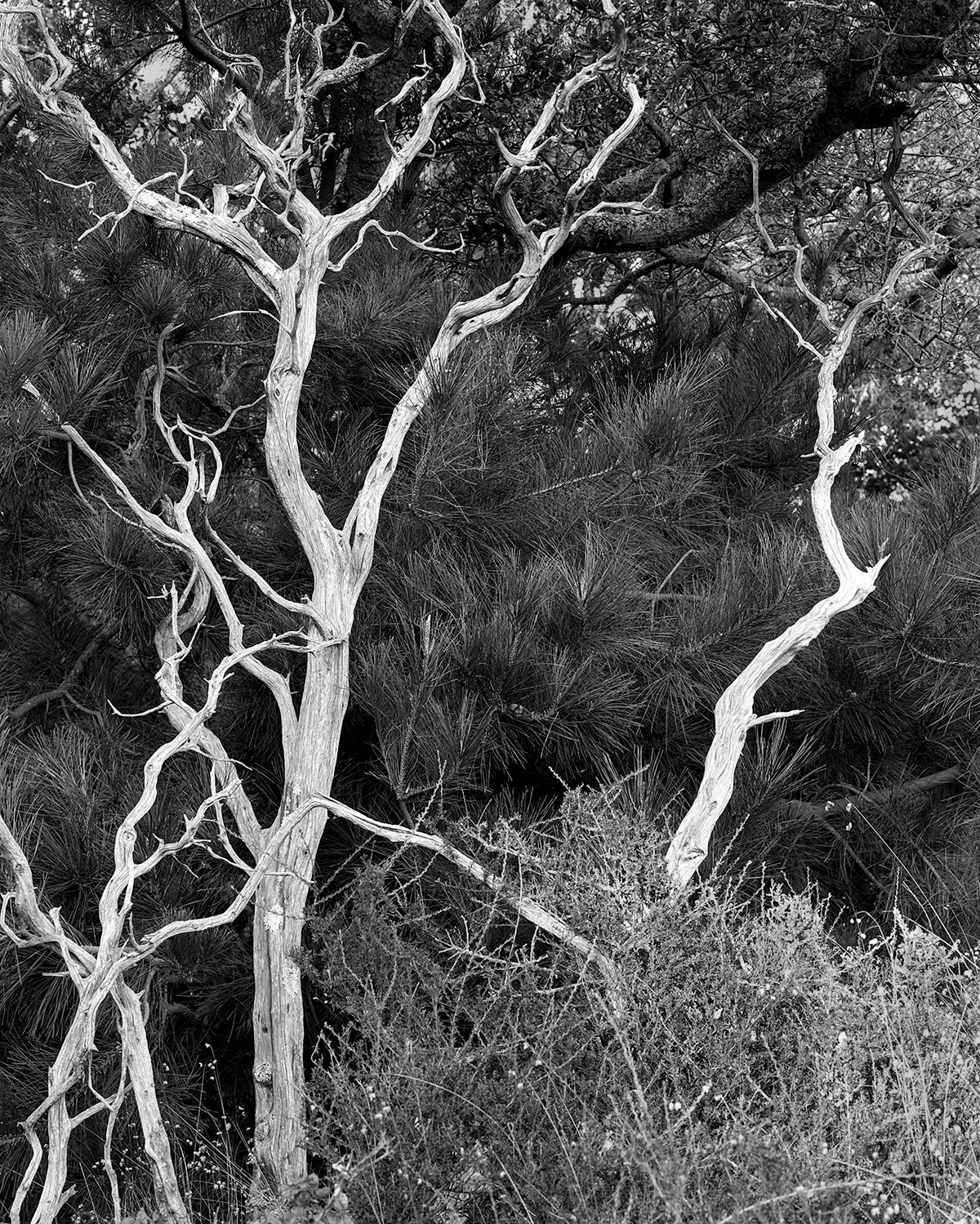 Dead Trees, Angel Island, 2017