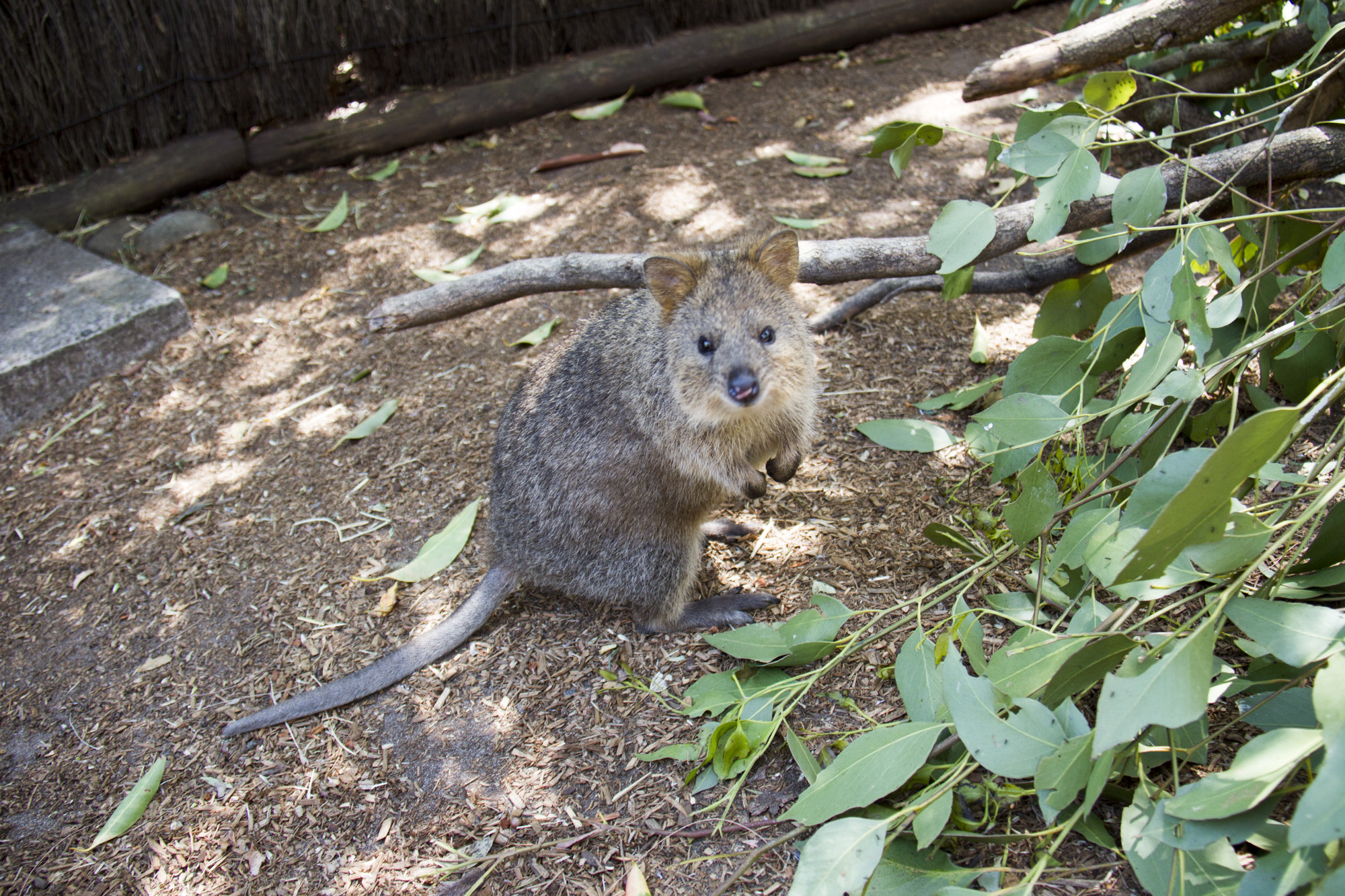 Quokkas curiously looking at the camera!