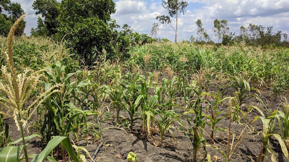 Kambale's crops this season.