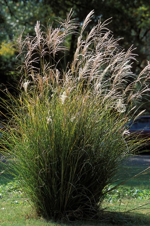 Chinese Silver Grass planted.jpg