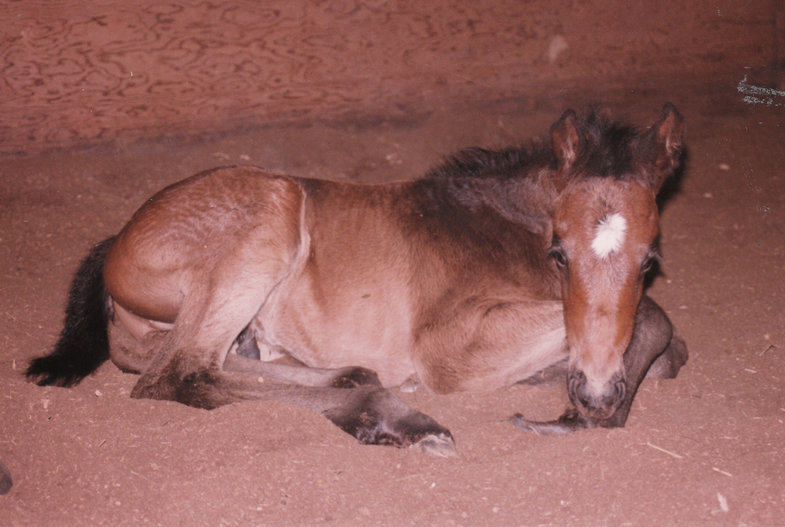 1drum as foal.e.jpg