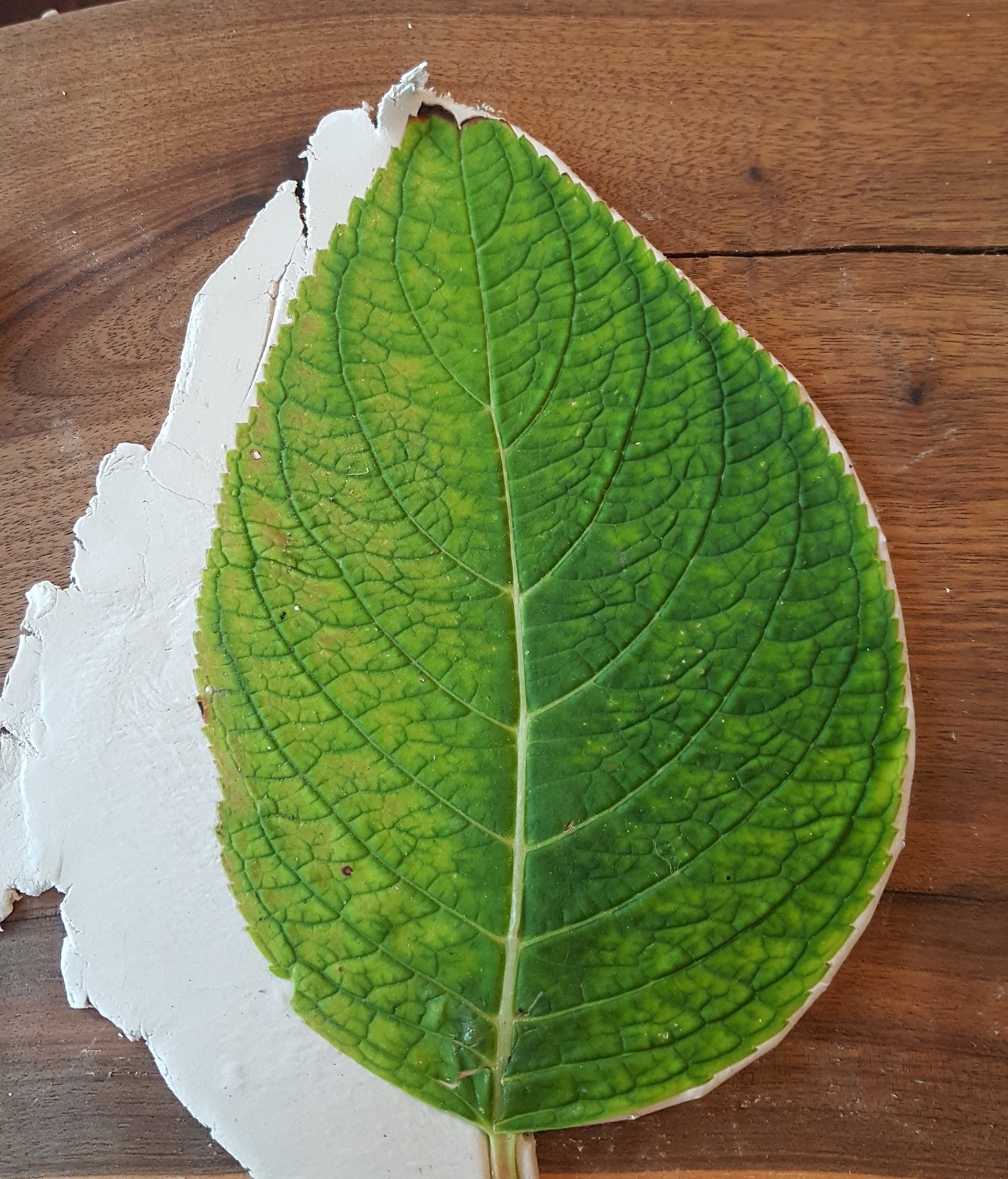 Trimming clay from the hydrangea leaf